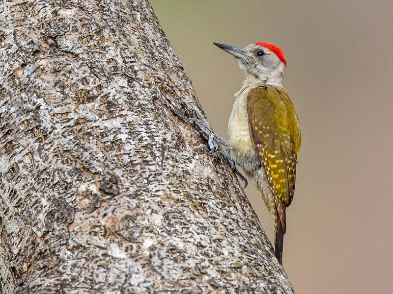 grey woodpecker<br><i>(Dendropicos goertae)</i>