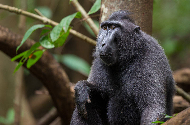 celebes crested macaque<br><i>(Macaca nigra)</i>