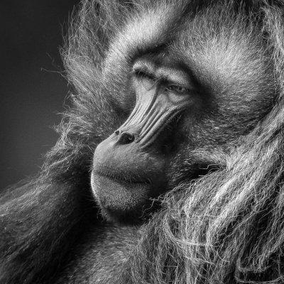 gelada (m.)<br><i>(Theropithecus gelada)</i>