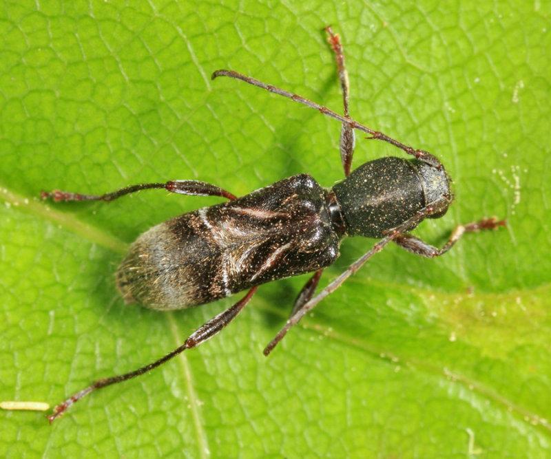 Cyrtophorus verrucosus