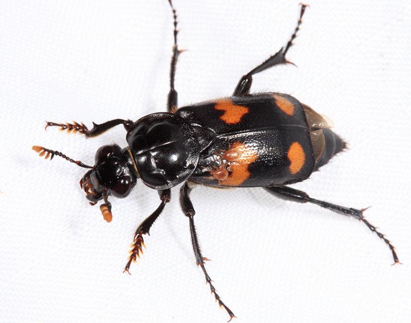 Roundneck Sexton Beetle - Nicrophorus orbicollis