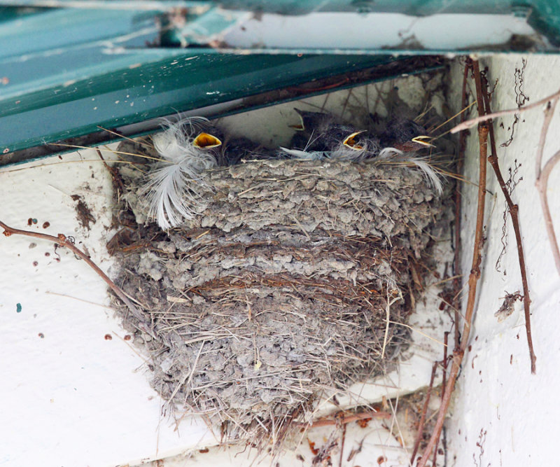 Barn Swallow - Hirundo rustica (chicks in nest)