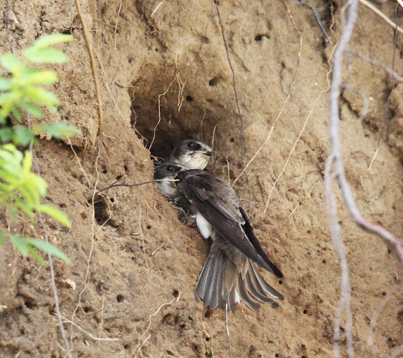 Bank Swallow - Riparia riparia