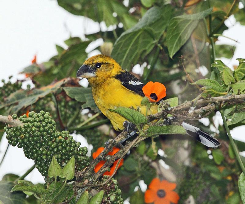 Southern Yellow Grosbeak - Pheucticus chrysogaster