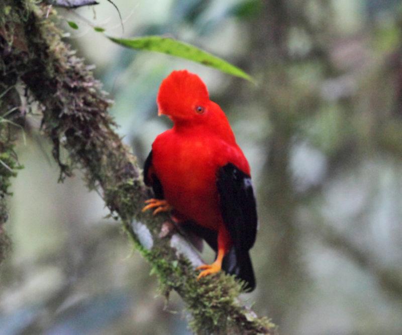 Andean Cock-of-the-rock - Rupicola peruvianus