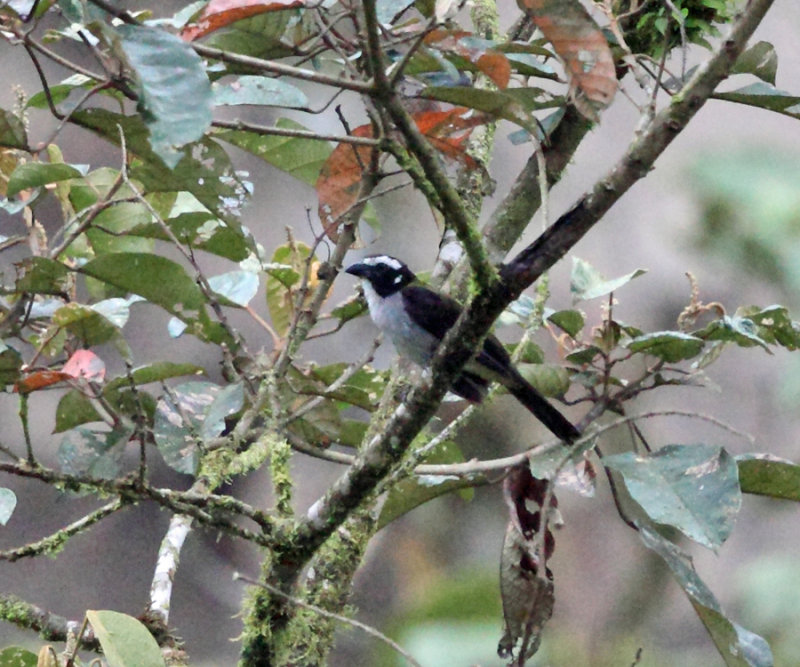 Black-winged Saltator - Saltator atripennis