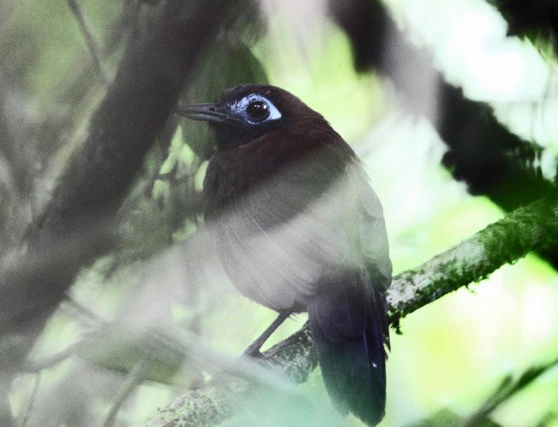 Zelendons Antbird - Myrmeciza zeledonia