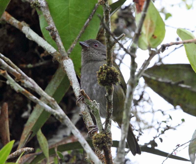 Dusky Bush-Tanager - Chlorospingus semifuscus