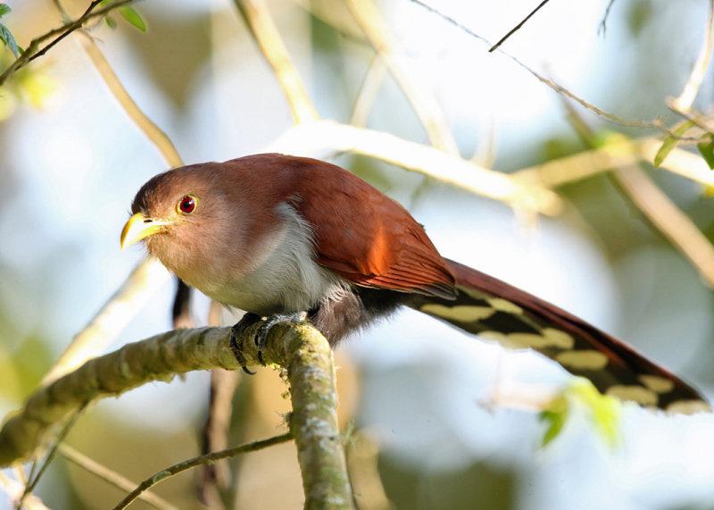Squirrel Cuckoo - Piaya cayana