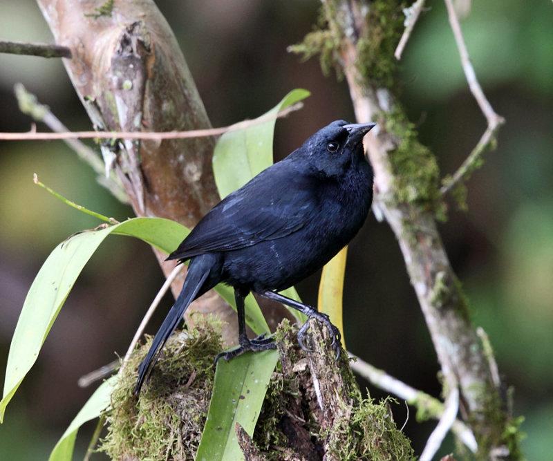 Scrub Blackbird - Dives warszewiczi
