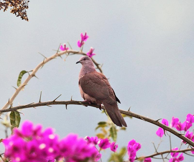 Ruddy Pigeon - Patagioenas subvinacea