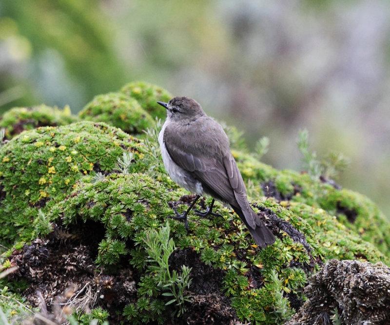 Paramo Ground Tyrant - Muscisaxicola alpinus