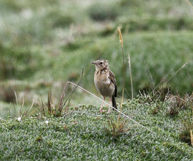 Paramo Pipit - Anthus bogotensis