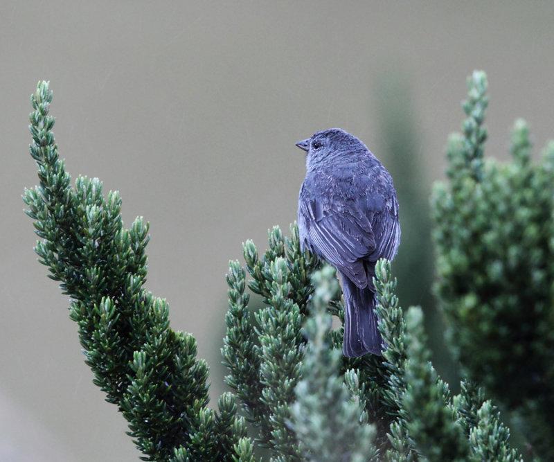 Plumbeous Sierra-Finch - Phrygilus unicolor