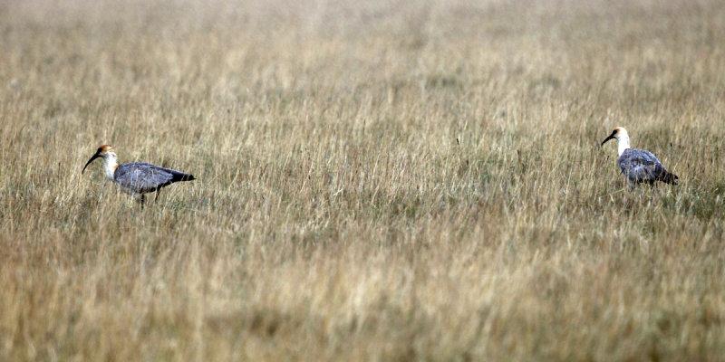 Black-faced Ibis - Theristicus melanopis