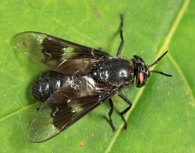Chrysops ater