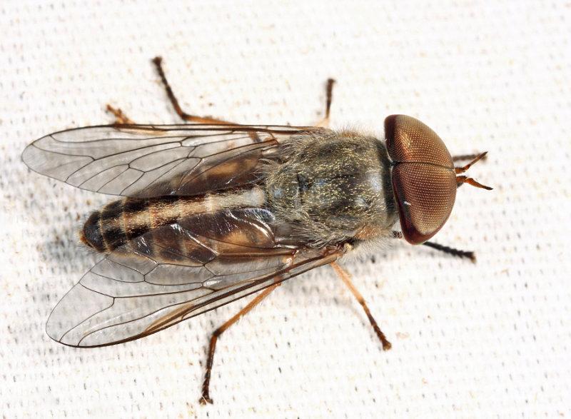 Striped Horse Fly - Tabanus lineola