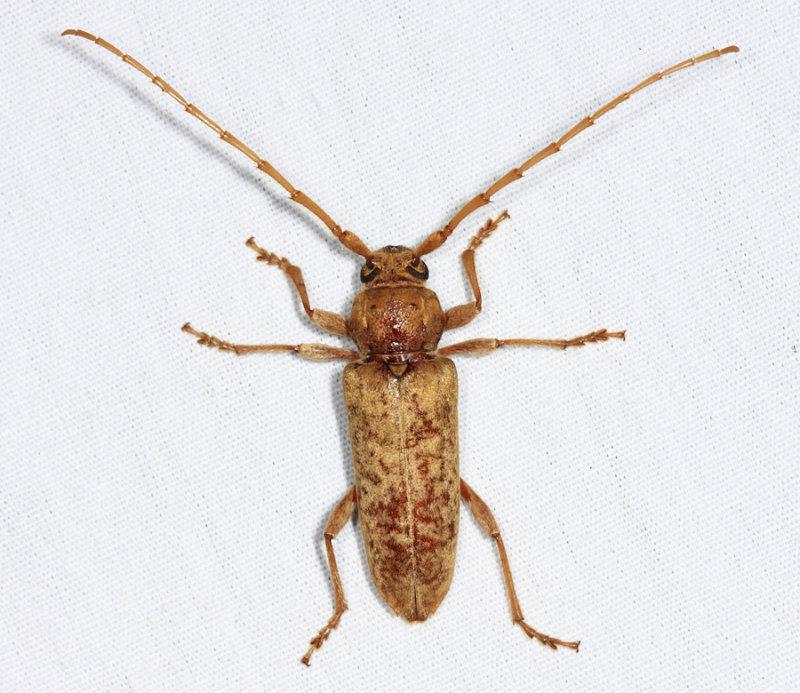 Red Oak Borer - Enaphalodes rufulus
