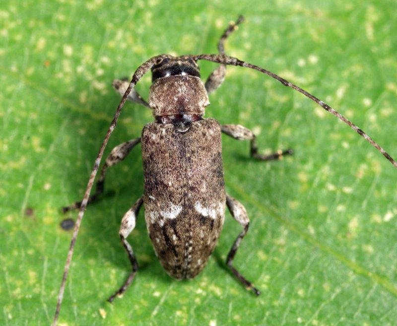 Sternidius punctatus