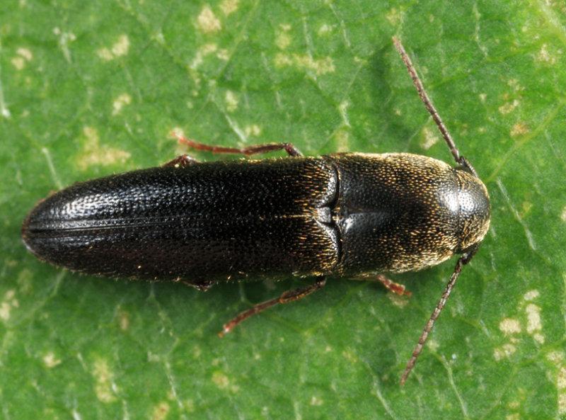 Dromaeolus cylindricollis