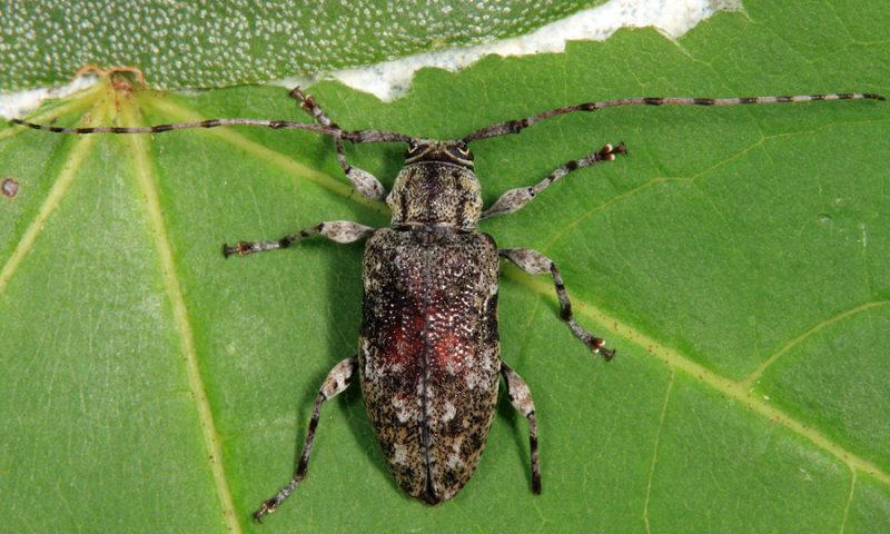 Astylopsis sexguttata