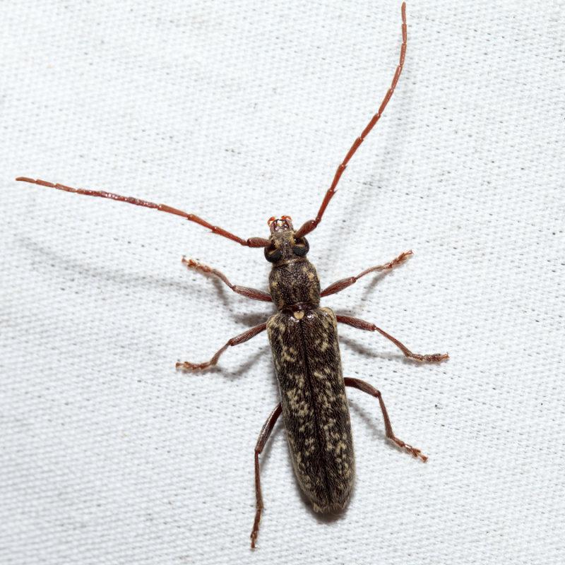Anelaphus sp.