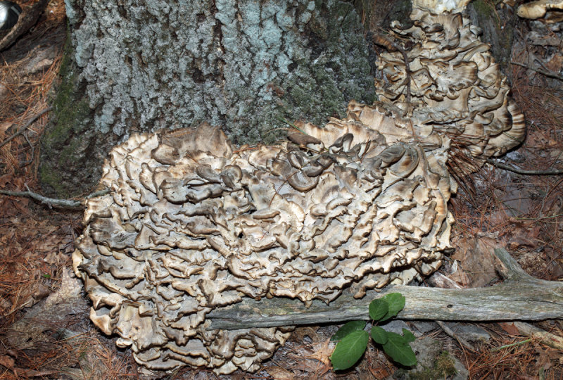 Grifola frondosa (Hen of the Woods)