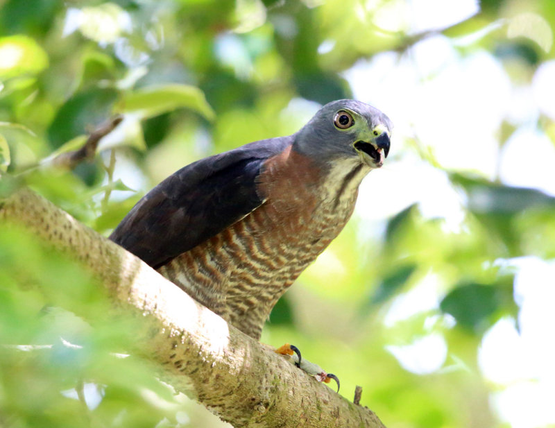 Double-toothed Kite - Harpagus bidentatus