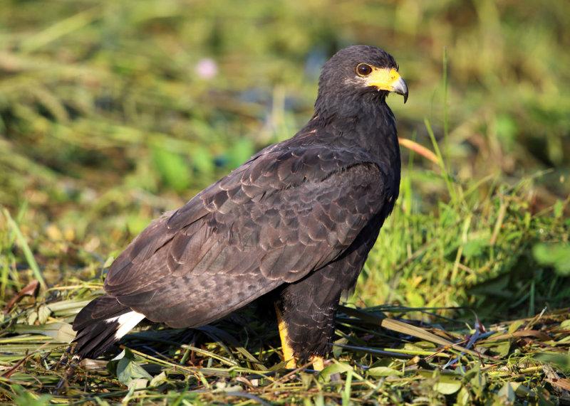 Common Black Hawk - Buteogallus anthracinus