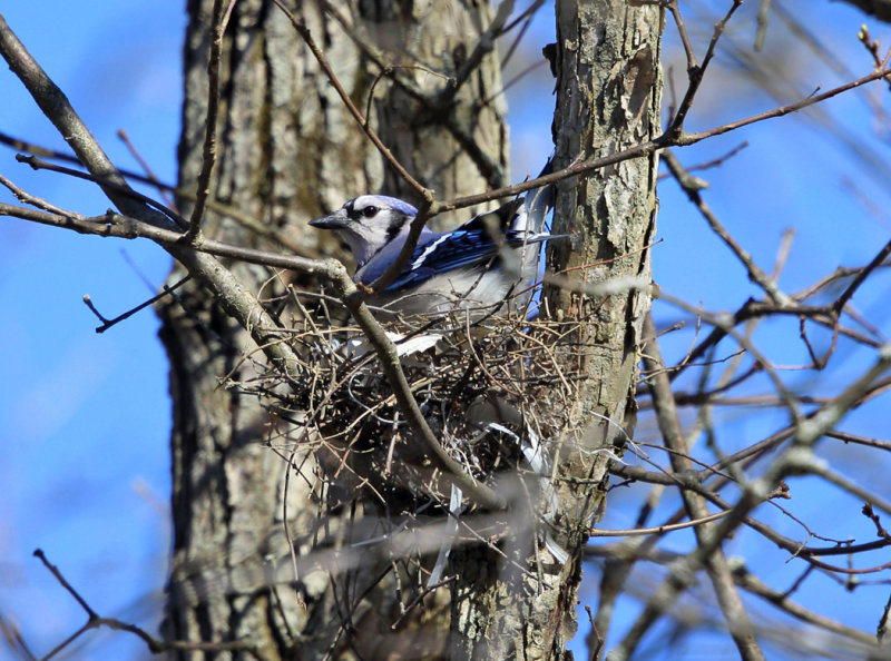 Blue Jay - Cyanocitta cristata (on nest)