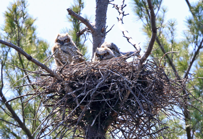 Great-horned Owls (on nest) - Bubo virginianus