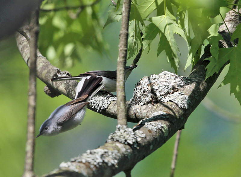 Blue-gray Gnatcatchers - Polioptila caerulea (at nest)