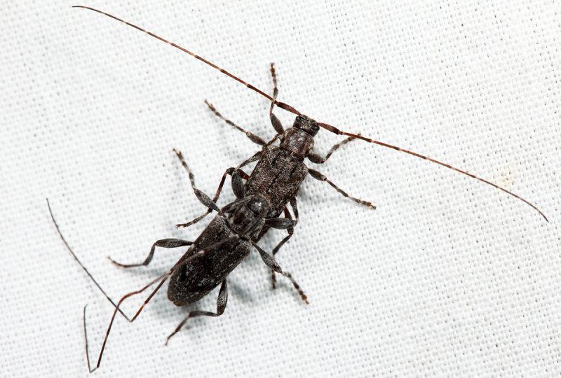 Eutrichillus biguttatus (mating)