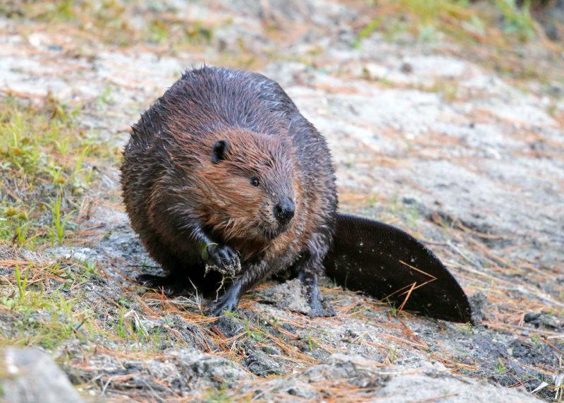 North American Beaver - Castor canadensis