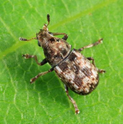 Trigonorhinus sticticus