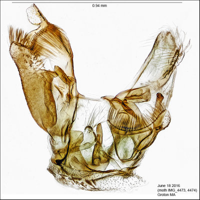 Dryadaula sp.