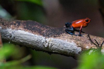 Strawberry Poison-dart Frog - Oophaga pumilio