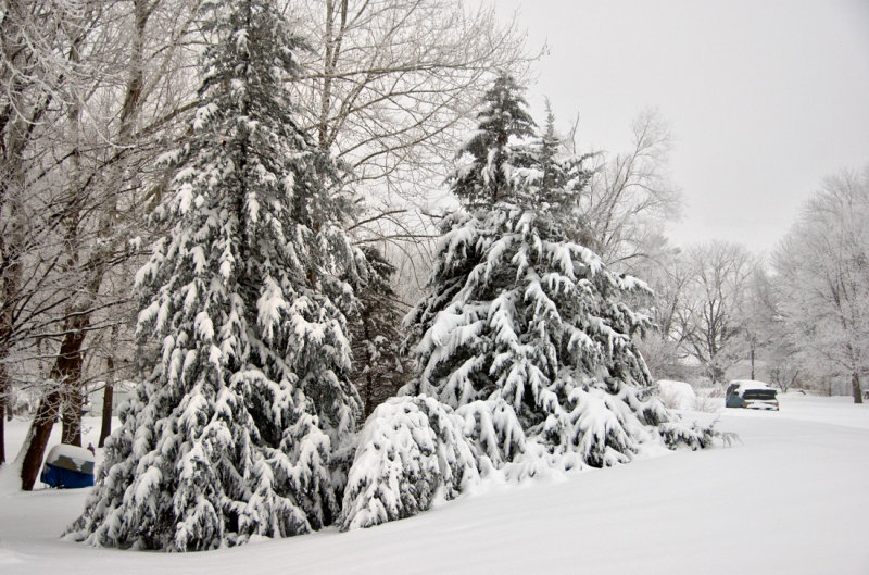 Winter Scene with Evergreen Trees