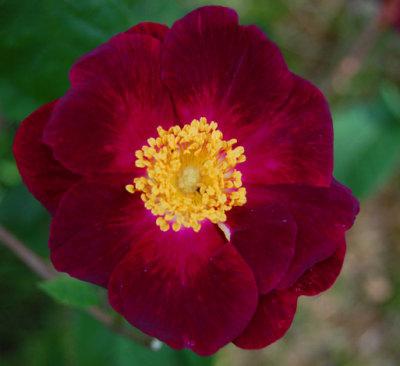 Rosa Violacea, gallicarose