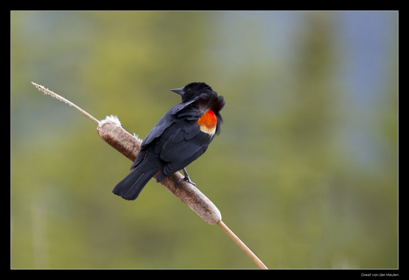 4276 redwinged blackbird