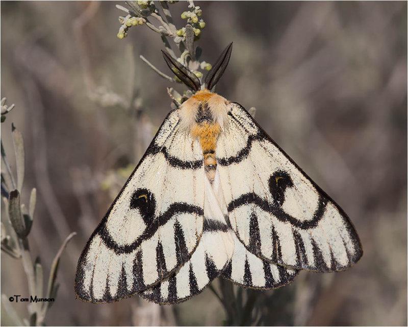 Hemileuca Hera moth