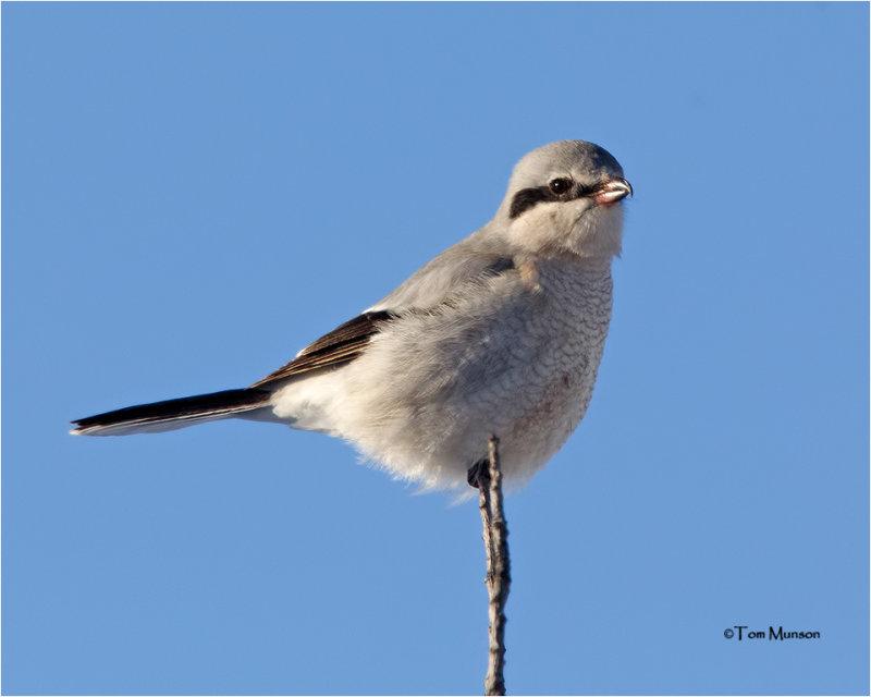 Northern Shrike  (bird on a stick)