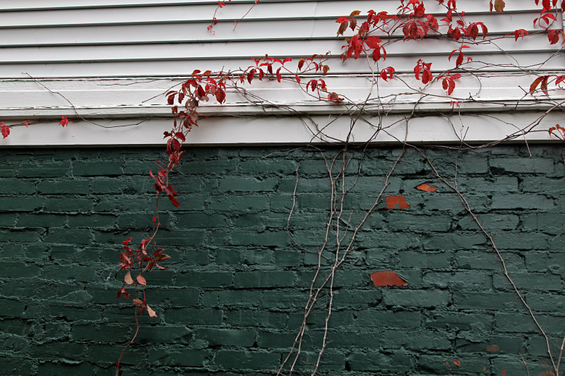 Virgina Creeper in autumn mode