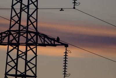 Peregrine Falcon -Falco Pellegrino- Halcón peregrino