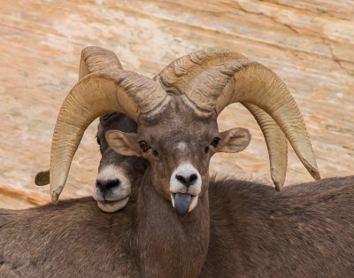 Big Horned Sheep at Valley of Fire