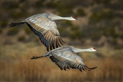 Groups of Two Sandhill Cranes at Bosque Del Apache