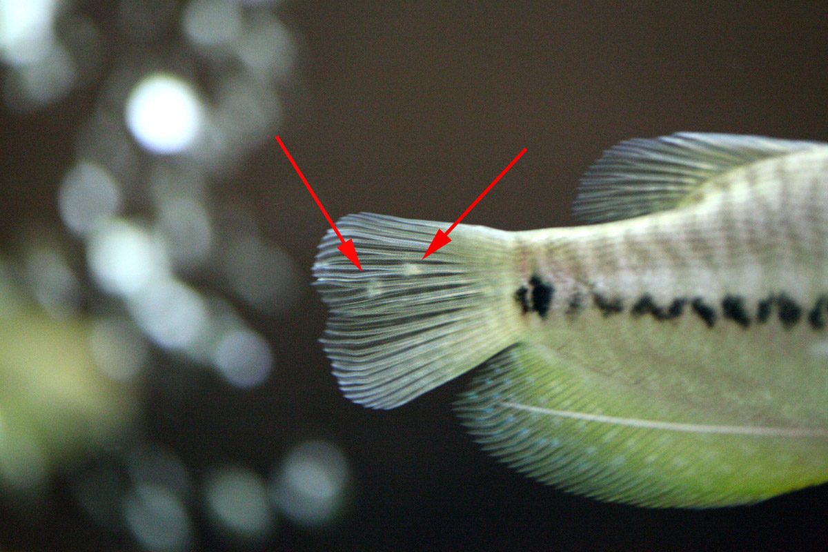 Is this fungus on tail fin picture aquarium advice for Fish tail fin