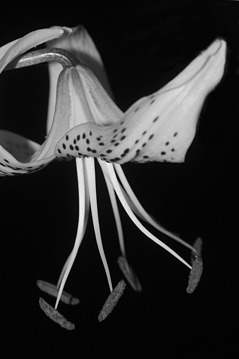 Tiger Lily Black and White.jpg