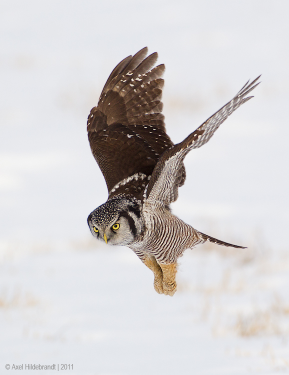 NorthernHawkOwl21c8981.jpg