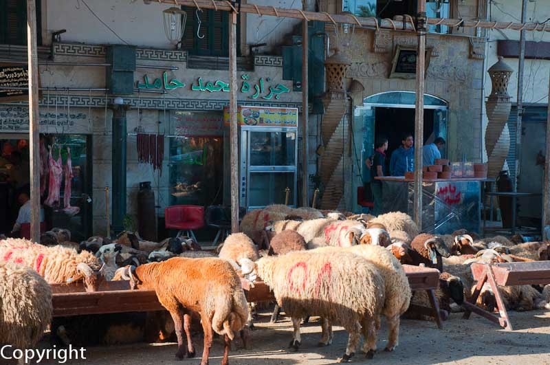 Flock of sheep, Alexandria